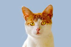Cat photographed from the front Royalty Free Stock Photo