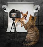 Cat photographer in studio 3. The cat photographer takes picture of his client dachshund in photo studio Stock Images