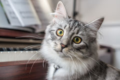 Cat at the Piano. Siberian Forest Cat at the Piano Royalty Free Stock Photography
