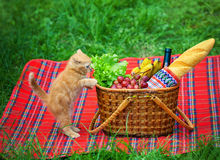 Cat on picnic Royalty Free Stock Images