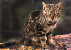 Cat from Pienza, Italy Royalty Free Stock Photos