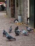 Cat and pigeons. A cat spying on a couple of eating pigeons Stock Photo