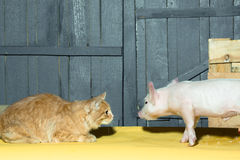 Cat and piglet. Cute funny young small pink piglet pet and red cat friends together indoor in studio on wooden backgroumd, horizontal picture stock photo