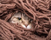 Cat in a pile thread woolen yarn Royalty Free Stock Image