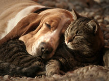 Cat pillow, dog blanket. Cat and dog relax together royalty free stock photo