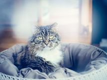 cat in pillow over living room background Royalty Free Stock Image