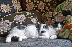 Cat with pillows. Black and white cat sleeping with pillows Royalty Free Stock Photo