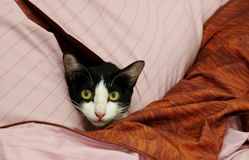 Cat in pillows Stock Image