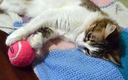 Cat with a pink ball. Beautiful cat cat with a pink ball, playing cat, tricolor playful cat royalty free stock image