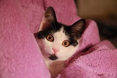 Cat in pink blanket facing the camera. Cute white and black stray young kitten in a pink blanket looking directly at you stock photo