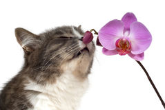 Cat and pink orchid Stock Photography