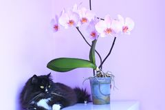 Cat and pink orchids on background. Pet as detail of interior Stock Photography
