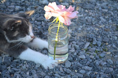 Cat and a pink rose. Cat with a vase and pink rose Royalty Free Stock Photos