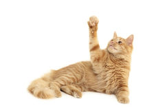 Cat plaful Royalty Free Stock Photography