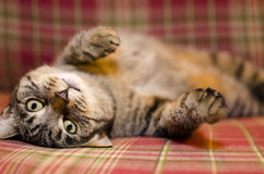 Cat with plaid background Stock Images