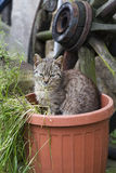 Cat in plant pot. Gray brown cat sitting in plastic terra-cota colored plant pot by a spoke wheel Stock Images