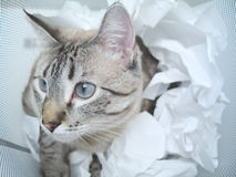 Cat Play. A cat playing inside a garbage can, amongst balls white of paper stock photo