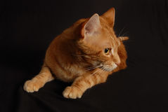 Cat Play 3 Fotos de Stock Royalty Free