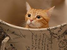 Cat Play 11 Fotografia de Stock
