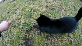 Cat play with twig. On grass stock video footage