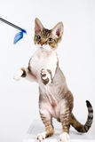 Cat playing. A photo of a purebred cat (devon-rex) playing, isolated stock image