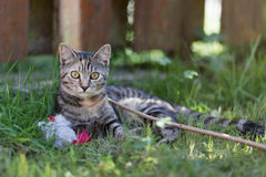 Free Cat Playing Stock Photography - 61512672