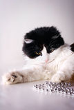 Cat playing. With the beads Stock Photos