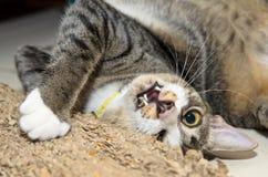 Cat Playing avec Scratcher Photos libres de droits