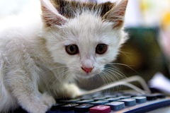 A cat is playing. With a calculator Royalty Free Stock Image