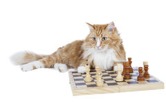 Cat playing chess Stock Photo