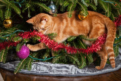 Cat playing in Christmas tree Royalty Free Stock Photos