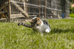 Cat playing. Cute tabby cat plays in the grass Stock Images
