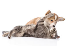 Cat playing with a dog. Isolated on white background Royalty Free Stock Image