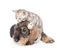 Cat playing with the dog. isolated on white background Royalty Free Stock Images