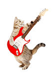 Cat playing on electric guitar. Cat Scottish Straight playing on electric guitar, standing on hind legs, isolated on white background royalty free stock image