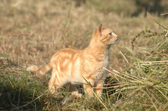 Cat playing on the farm Royalty Free Stock Photography