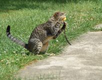 Cat is playing with a feather in the yard Royalty Free Stock Photos