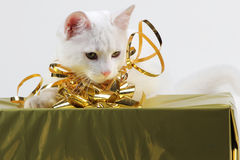 Cat playing with gift box. Funny white kitty cat having fun with presents Royalty Free Stock Images