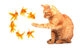 Cat playing with goldfishes Royalty Free Stock Photos