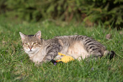 Cat playing on the grass Royalty Free Stock Images