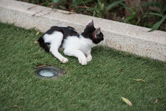 Cat playing on green grass. Black and white.cat lying on green grass, Big, happy cat lying on the ground, among the green grass. striped, smooth-haired Royalty Free Stock Image