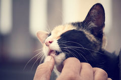 Cat playing with hand Royalty Free Stock Images