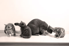 Cat playing with her babies Stock Photos