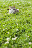 Cat Playing And Hiding On Green Grass Royalty Free Stock Photography