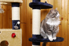 Cat playing in a huge cat-house. Gray cat playing in a huge cat-house Stock Photo