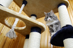 Cat playing in a huge cat-house. Gray cat playing in a huge cat-house Royalty Free Stock Photo