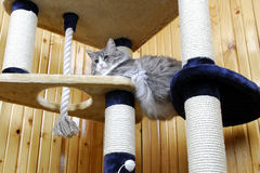 Cat playing in a huge cat-house. Gray cat playing in a huge cat-house Royalty Free Stock Photos