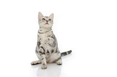 Cat playing Royalty Free Stock Photography
