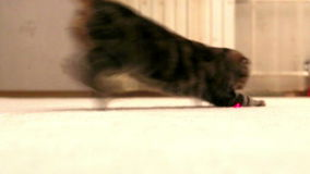 Cat is playing with laser point - slow motion stock video footage