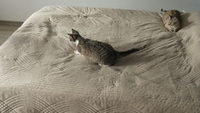 Cat playing with laser pointer on the bed stock footage